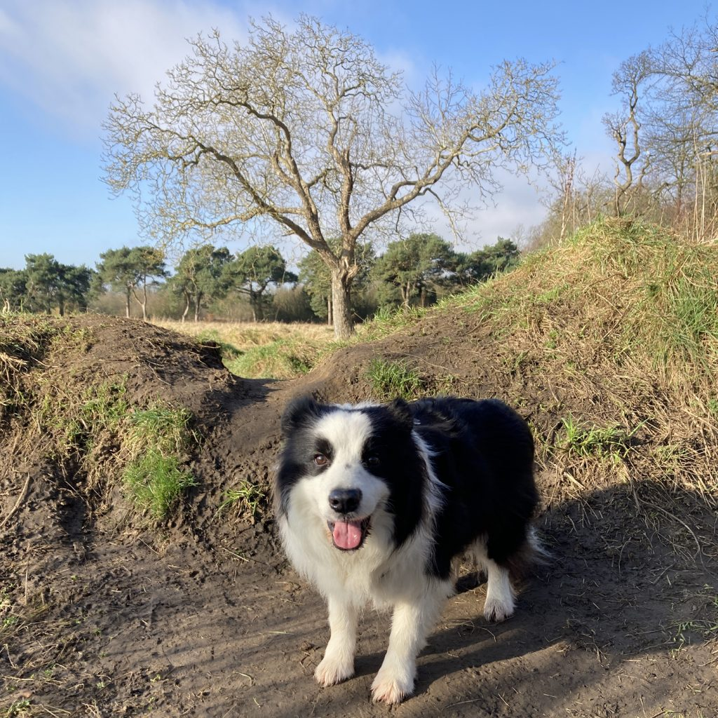 Border Collie Solo Dog Walk