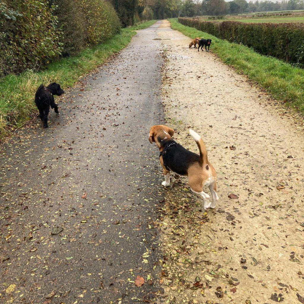 Cockapoo, Beagle And Cocker Spaniel's On An Adventure