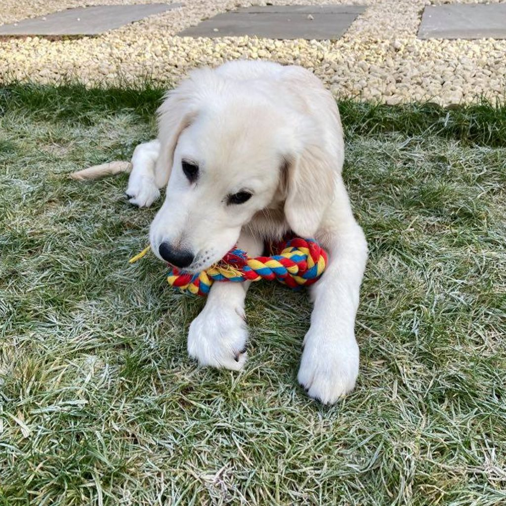 Golden Retriever Puppy Visit