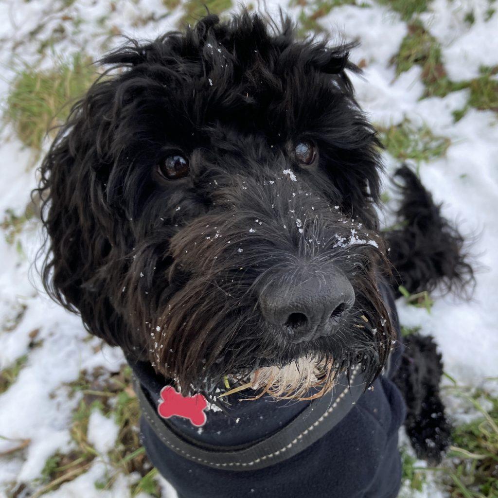 Cockapoo Puppy Snowy Dog Walk
