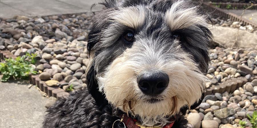 Cockerpoo Puppy Dog