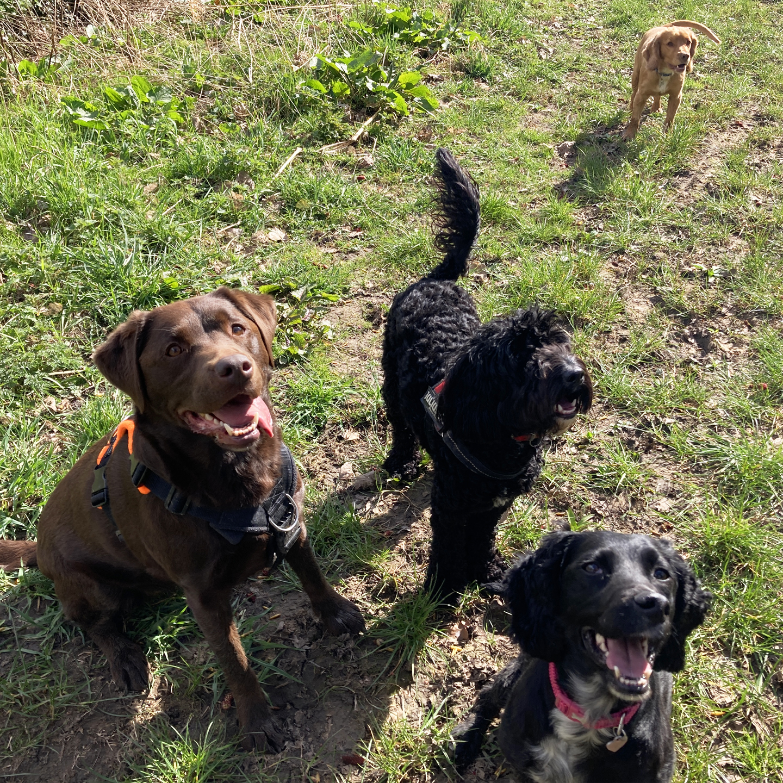 Dog Walks - Chocolate Labrador, Cocker Spaniel, Cockapoo