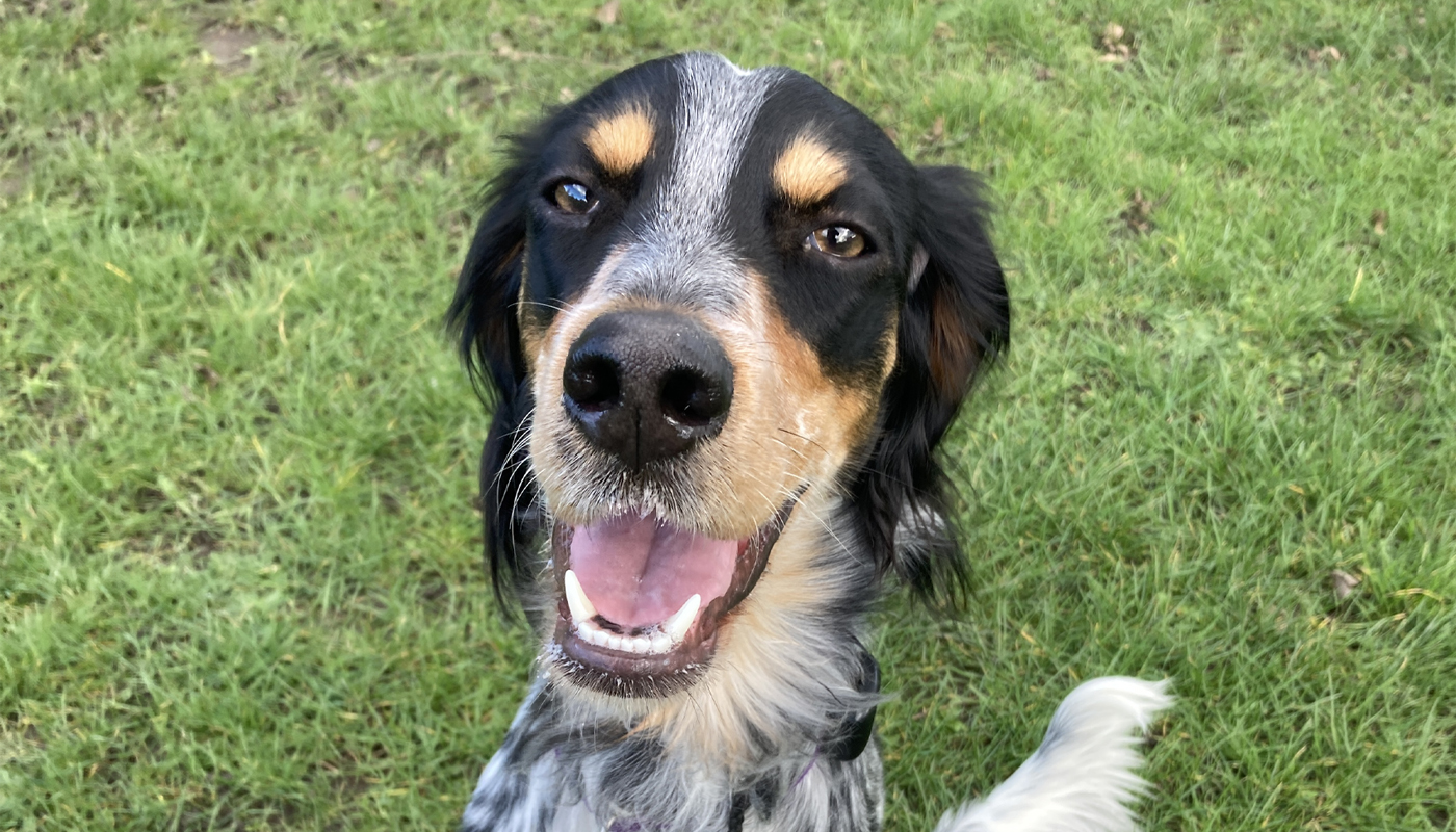 English Setter Dog Day Care Howden