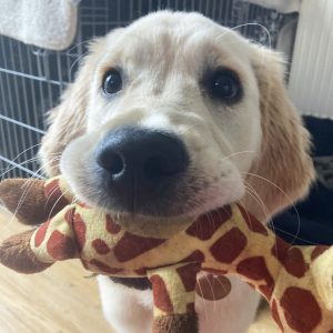 Golden Retriever Pup Puppy Visit