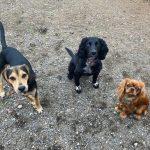 Beagle Cocker King Charles Spaniel At Doggy Day Care