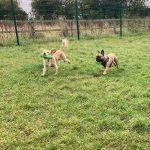 Cocker Spaniel French Bulldog Day Care
