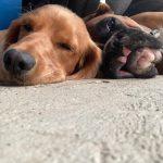 Sleepy Cocker Spaniel Boxer Dog At Day Care